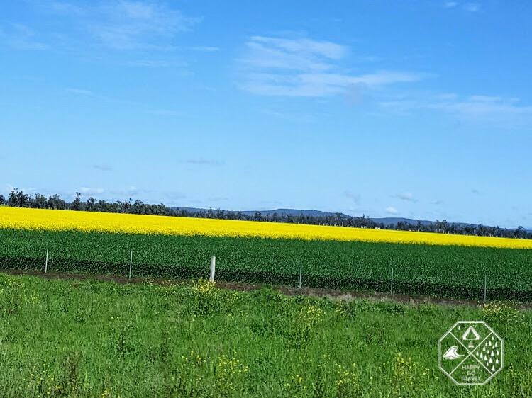 canola fields NSW