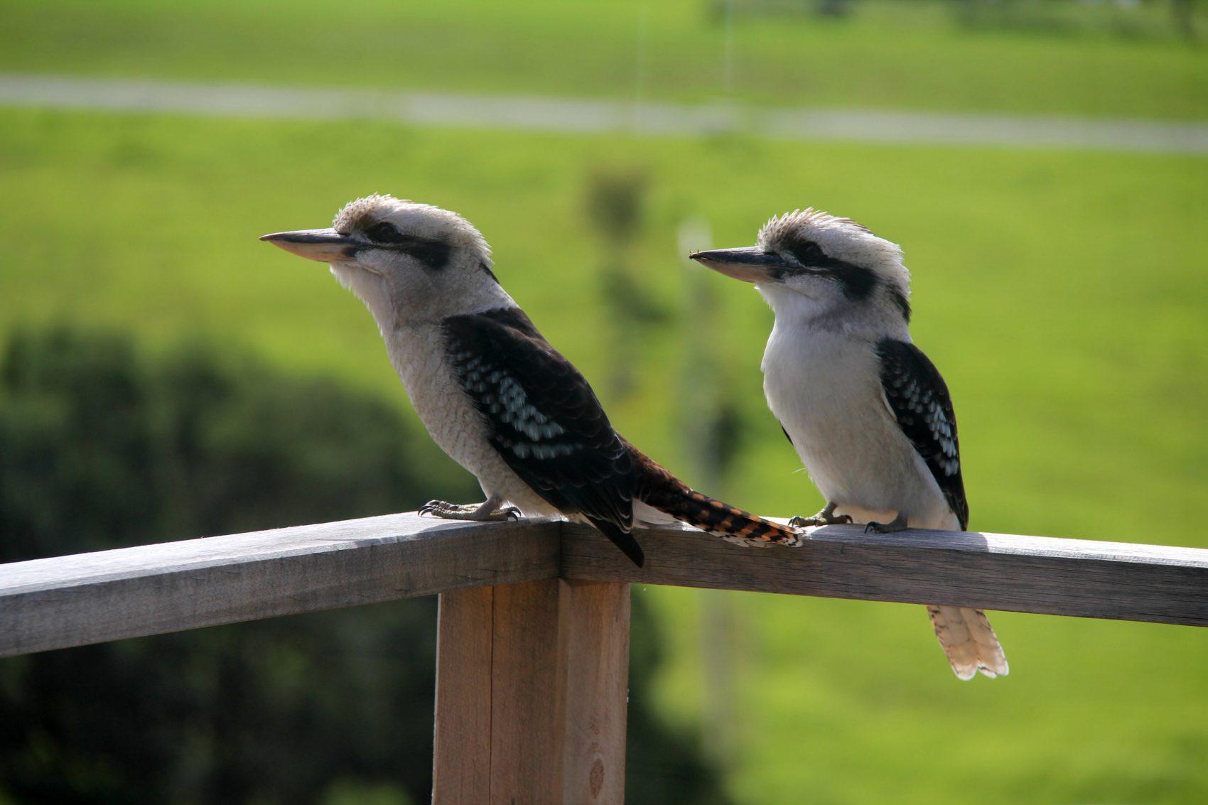 Friendly kookaburras sitting on balcony in Mallacoota