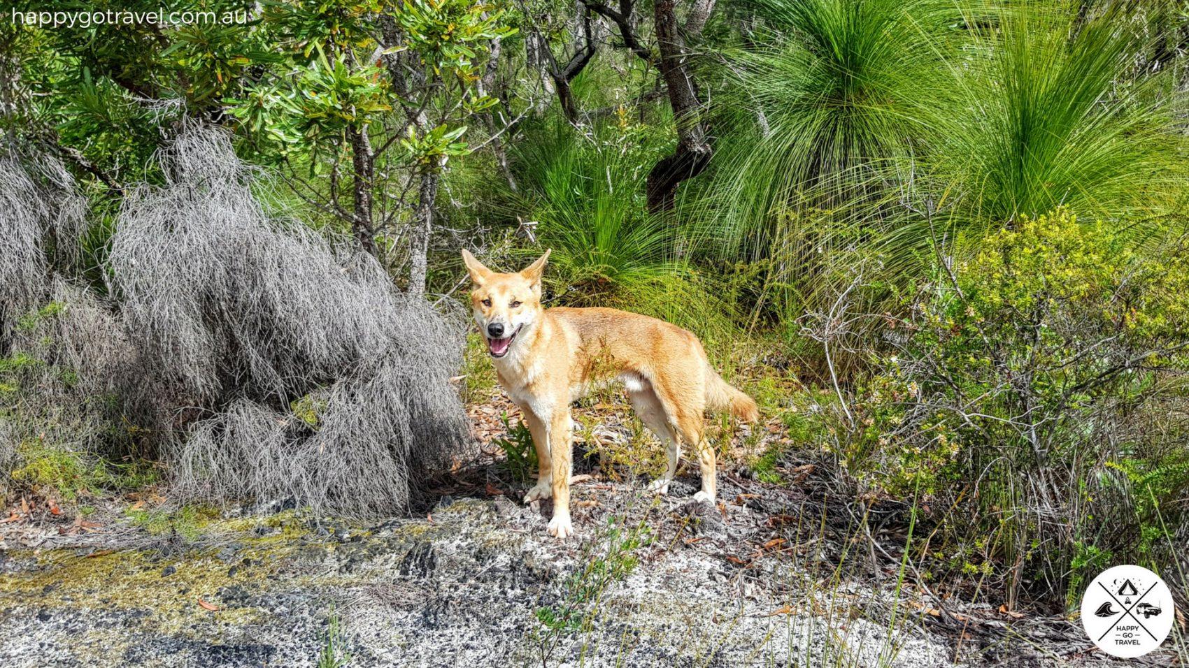 Fraser Island dingoes standing in bush